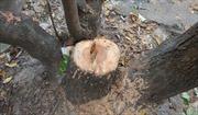 Phạt tù nhóm trộm cây sưa ở Hà Nội