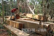 Lâm tặc hoành hành, rừng Krông Pa nguy cơ xoá sổ