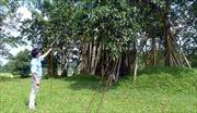 Hồi sinh cây đa Tân Trào