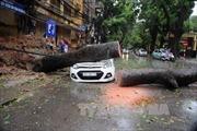 Nhiều xe ô tô bị cây đổ đè bẹp