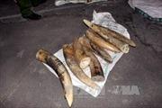 Hải quan Nội Bài thu giữ 309 kg ngà nghi ngà voi