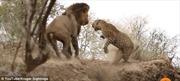 Báo đốm gật gà ngủ, sư tử nhảy bổ vồ
