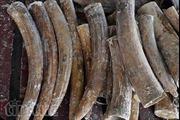 Phát hiện gần 1 tấn ngà voi trị giá hơn 40 tỷ đồng