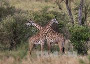 Hươu cao cổ châu Phi đứng bên bờ vực tuyệt chủng