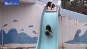Trang trại Trung Quốc cho lợn tập thể dục