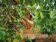 Nâng cao năng lực cạnh tranh ngành cà phê từ khâu chế biến sâu