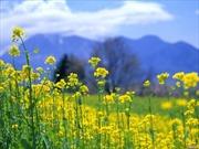 Cơ hội ngắm hoa cải dầu phủ vàng ruộng bậc thang Mù Cang Chải
