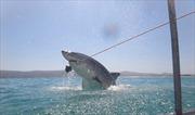 Cận cảnh cá mập trắng săn mồi bên thuyền du lịch