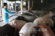Chăn nuôi khốn đốn vì giá 1 cân lợn hơi chỉ bằng 1 bát phở