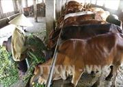 Phát triển chăn nuôi bò thịt theo hướng nâng cao giá trị gia tăng