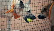 Chó vô chủ thành trợ thủ nhặt bóng tại giải Brazil Open