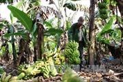 Nông dân Tây Ninh lao đao vì trồng chuối già Nam Mỹ