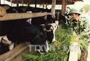 Bến Tre phát triển đàn bò sữa