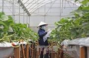 Trồng dâu tây Nhật Bản công nghệ cao tại Đà Lạt