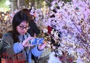 Hoa anh đào Nhật Bản lung linh khoe sắc ở Hà Nội