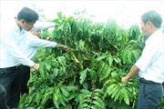 Hơn 10.000 ha cà phê Tây Nguyên được tái canh từ nguồn vốn Agribank