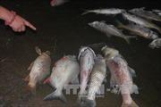 Cá chết hàng loạt tại Lào Cai do bục đường ống nước thải nhà máy phân bón