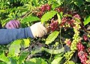 Làm giàu từ trồng cà phê xen cây ăn quả, hồ tiêu