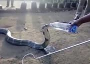 Khiếp hạn hán, hổ mang chúa 'ngoan ngoãn' uống nước từ chai