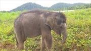 Lạc mẹ từ lúc sơ sinh, chú voi xem người chăm sóc là người thân