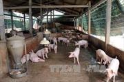 Liên kết chuỗi: Giải pháp hạ giá thành cho ngành chăn nuôi