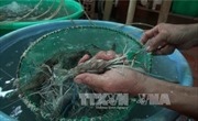 Sớm làm rõ nguyên nhân tôm nuôi bị bệnh vểnh mang ở Trà Vinh