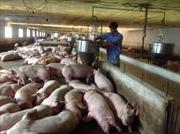 Bộ Nông nghiệp kêu gọi doanh nghiệp 'giải cứu' thịt lợn