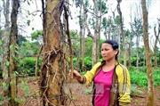 Ước tính thiệt hại trên cây hồ tiêu tại Quảng Trị lên đến 10 tỷ đồng