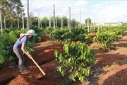 Để trồng tái canh cà phê hiệu quả ở Tây Nguyên