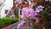 Nhật Bản bình dị hoa tháng 4