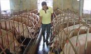 Ngân hàng Chính sách xã hội gia hạn nợ cho người nuôi lợn