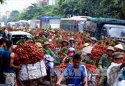 Xe container xếp hàng dài chờ cân vải thiều Bắc Giang