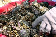 Tôm hùm và các loài thủy sản ở vịnh Xuân Đài chết hàng loạt