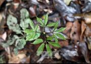 Tìm giải pháp phát triển và bảo tồn cây sâm Ngọc Linh
