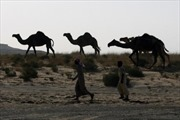 Saudi Arabia trục xuất 15.000 con lạc đà Qatar