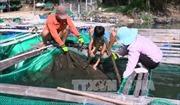 Cá nuôi trong đầm Ô Loan chết hàng loạt do mật độ nuôi quá dày