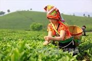 Tiềm năng phát triển kinh tế từ cây chè Mộc Châu