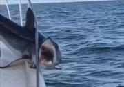 Kinh sợ cảnh cá mập 'bực bội' cắn bừa khi mắc kẹt trên tàu cá