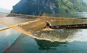 Đồng bào Dao nuôi trồng thủy sản trên lòng hồ sông Đà
