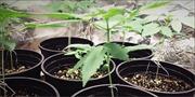 Lâm Đồng phát hiện 2 hộ dân trồng cần sa trái phép trong nhà kính