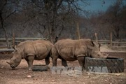 Nam Phi tổ chức phiên đấu giá sừng tê giác đầu tiên trong lịch sử