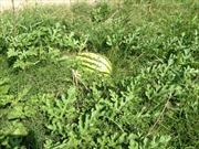 Nông dân trồng dưa hấu trắng tay vì mưa lớn kéo dài