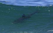 Chưa có cơ sở xác định cá mập xuất hiện ở vùng biển ven bờ Quảng Ninh
