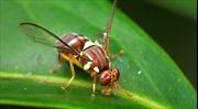 Giải mã thành công mạng lưới thị giác của não ấu trùng ruồi giấm