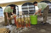 Lúng túng trong việc xử lý kinh doanh sâm Ngọc Linh kém chất lượng