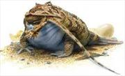 Phát hiện loài ếch cổ đại có thể hạ gục khủng long