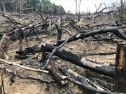 Tàn phá hơn 10.000m2 rừng phòng hộ để trồng keo