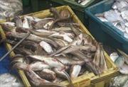"""Thông tin """"14 ngư dân chết do ăn cá nóc"""" chỉ là tin đồn"""