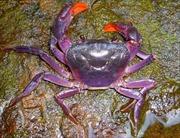 Phát hiện loài cua màu tím ở Philíppin