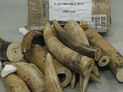 Thu giữ hơn 137 kg ngà voi nhập khẩu trái phép